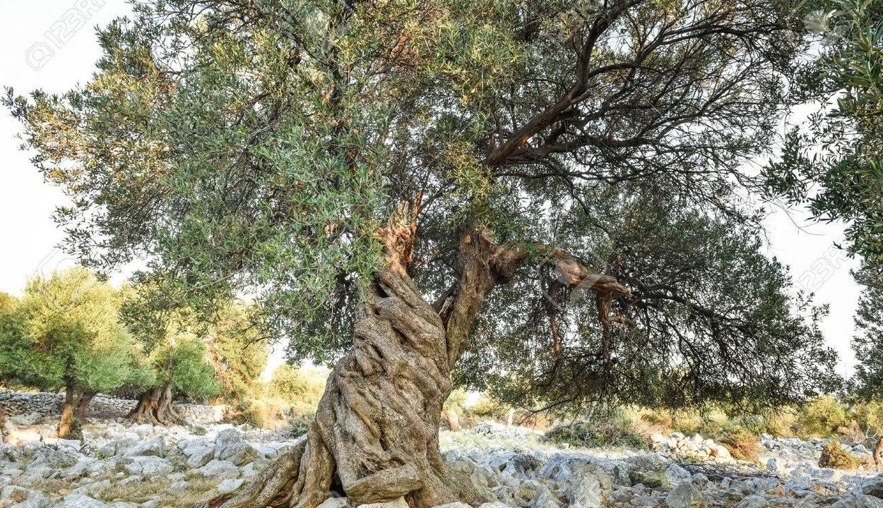 3000 éves és még mindig terem a világ legöregebb olajfája
