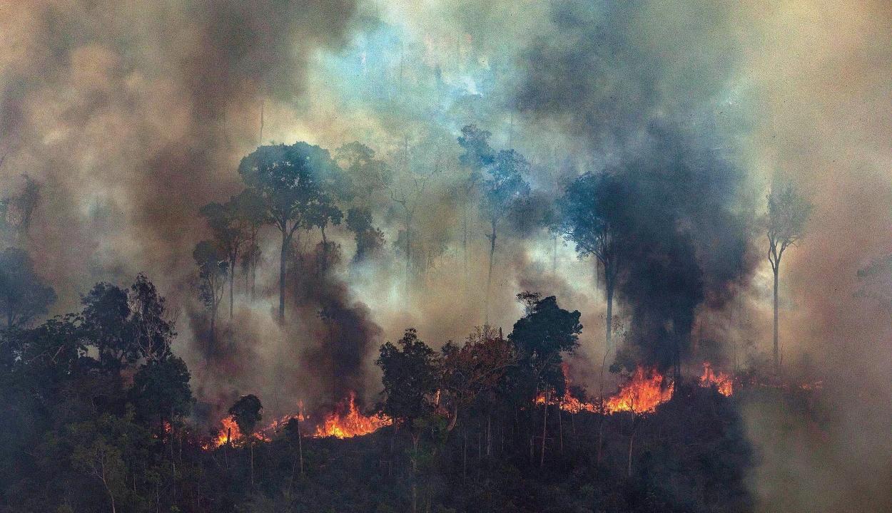 Nincs veszélyben Amazónia legmagasabb fája
