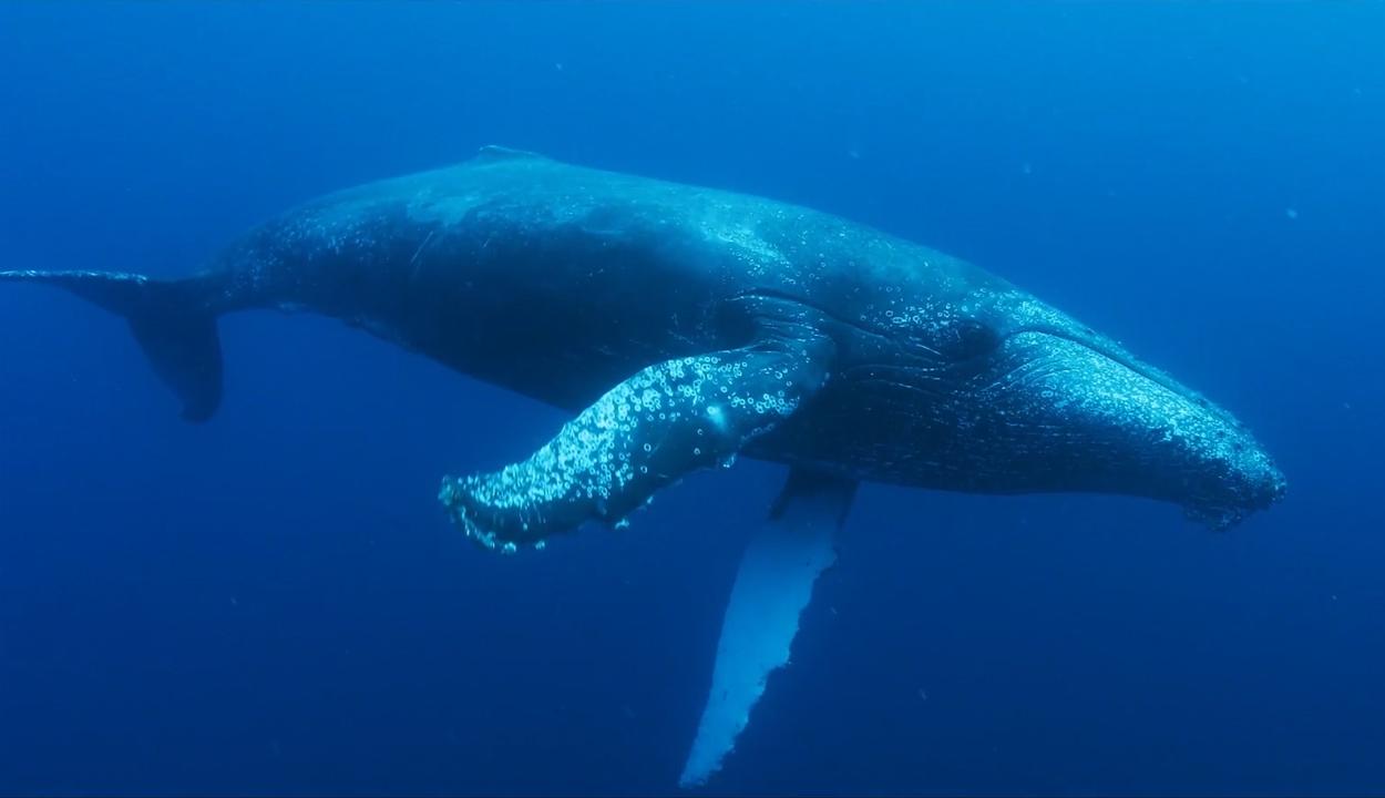 Egymástól tanulnak új dalokat a hosszúszárnyú bálnák