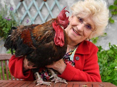 Bíróság adott engedélyt a kukorékolásra Franciaország híres kakasának
