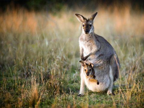 Szándékosan halálra gázolt közel 20 kengurut egy autós Ausztráliában