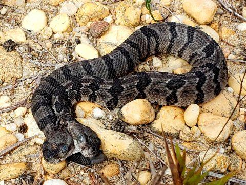 Ritka kétfejű kígyót találtak az Egyesült Államokban