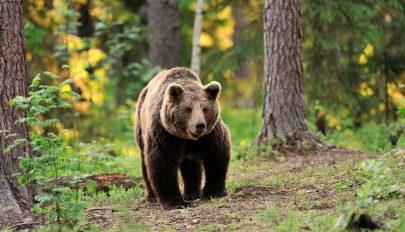 RMDSZ: a parlament tárgyalja sürgősségi eljárásban a medve kilövési kvótát szabályzó tervezetet