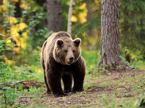 Medve kószált az éjszaka Marosvásárhely utcáin