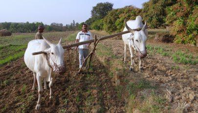 Ökröket és lovakat vetnek be az üzemanyaghiány miatt Kubában