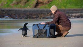 Visszaengedték a vadonba az Ausztráliáig eljutott pingvint