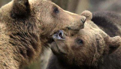 Természetjáró tanácsai medveügyben