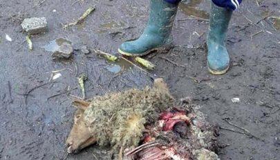 Nagyvadak pusztítottak Orbaiszéken