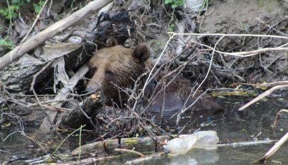 A medve nem plüssmaci