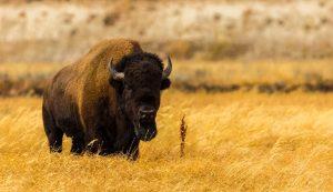 Ez a bölény a Yellowstone Nemzeti Parkban került lencsevégre