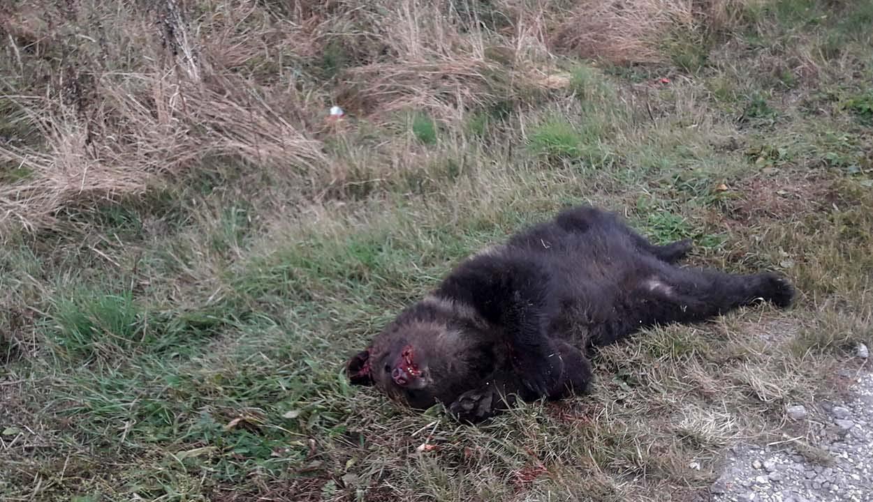 Medvét gázolt halálra egy személygépkocsi az 1-es országúton
