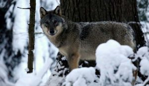A farkasok másfél–két hét alatt járják körbe a területüket