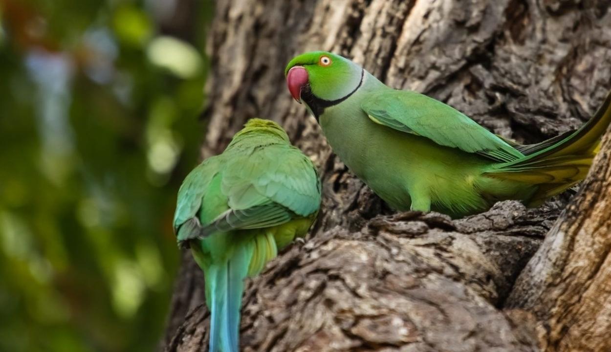 Papagájinvázió van Madridban
