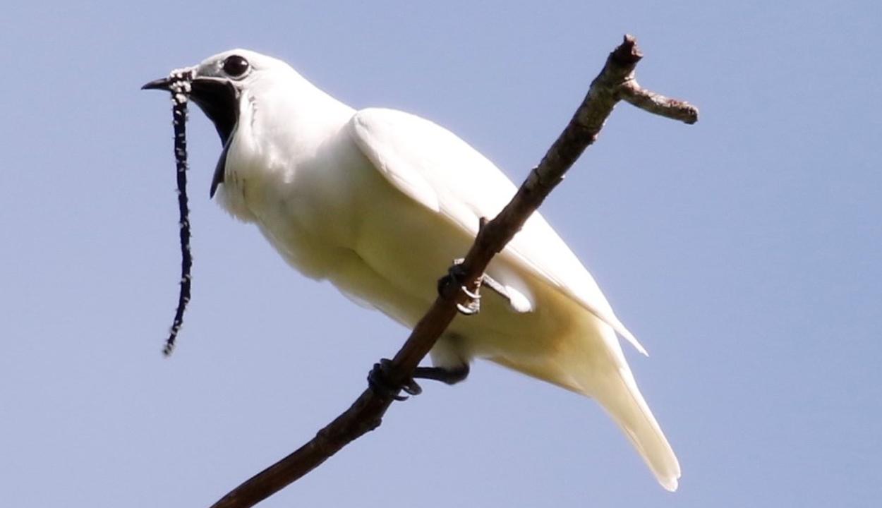113 decibellel rikácsol a világ leghangosabb madara