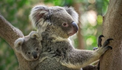 Több száz koala pusztulhatott el az ausztráliai bozóttüzekben