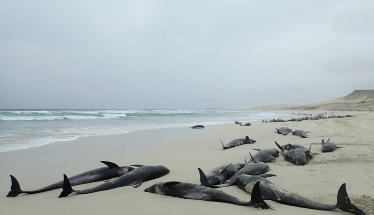 Legalább 136 delfin pusztult el Afrika nyugati partjain