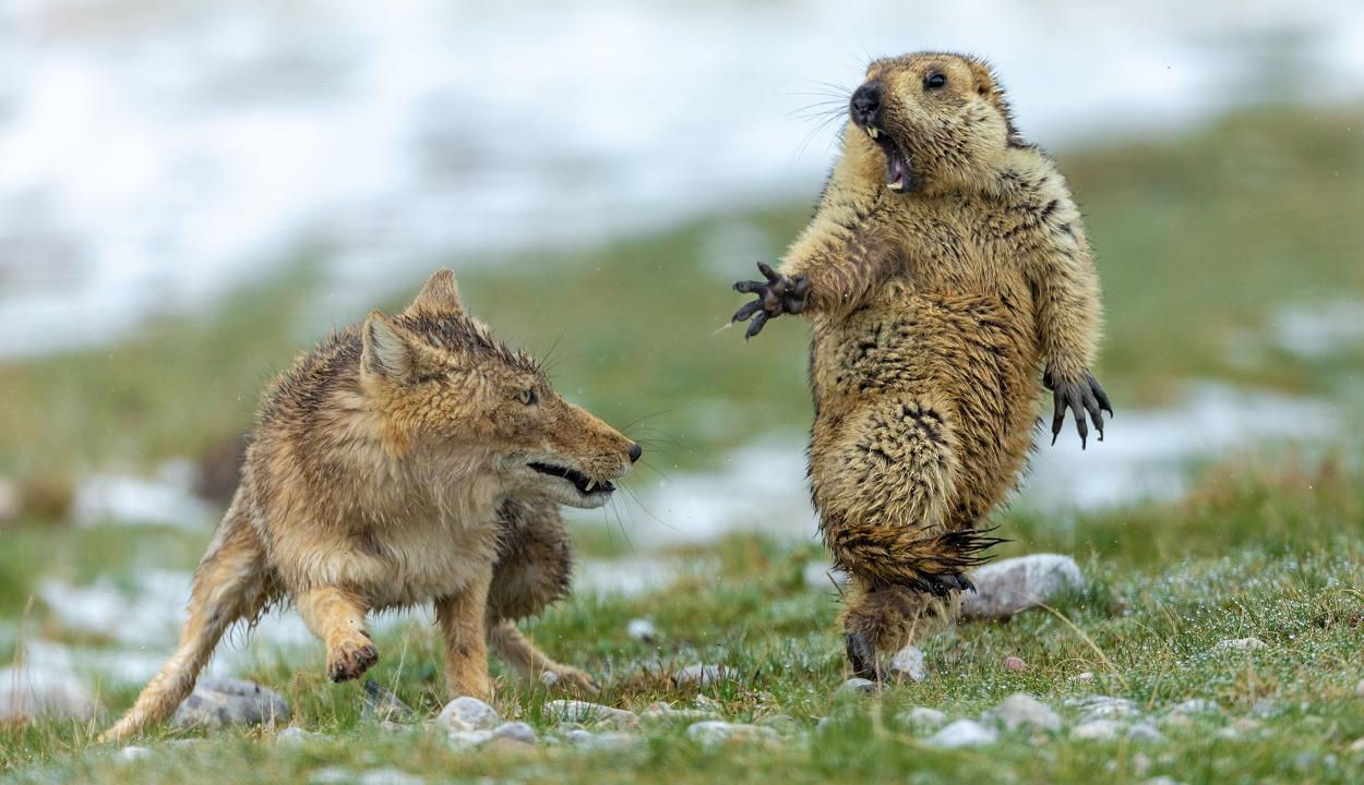 Mormotára támadó róka fotójával nyerte az év természetfotósa díjat egy kínai versenyző