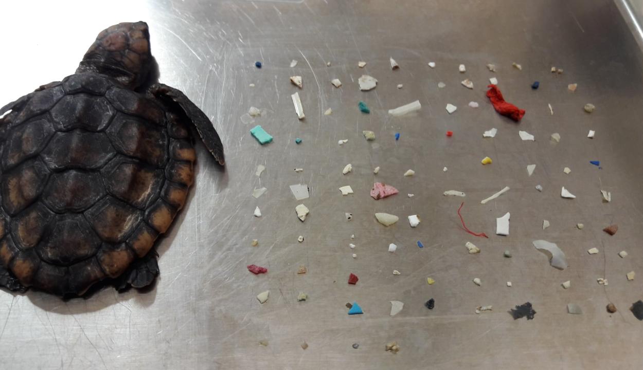 104 műanyag darabkát találtak egy elpusztult teknős gyomrában