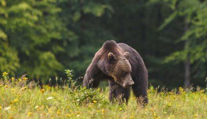 Súlyosodó medvegond Bálványosfürdőn