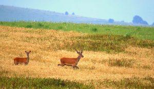 Ahol az erdőrészeket mezőgazdasági terület szegélyezi, oda szívesen járnak le táplálkozni a szarvasok