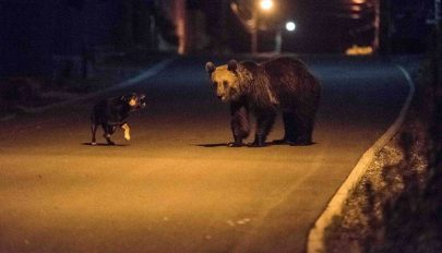 Egy nap leforgása alatt nyolc medvét láttak Tusnádfürdőn