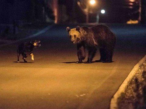 Pincébe mászott be a medve Tusnádfürdőn, miután betört egy ablakot
