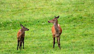 A tapasztalt vadász tudja, hogy sokszor nem a bika hollétére kell koncentrálni, hanem az asszonynépre