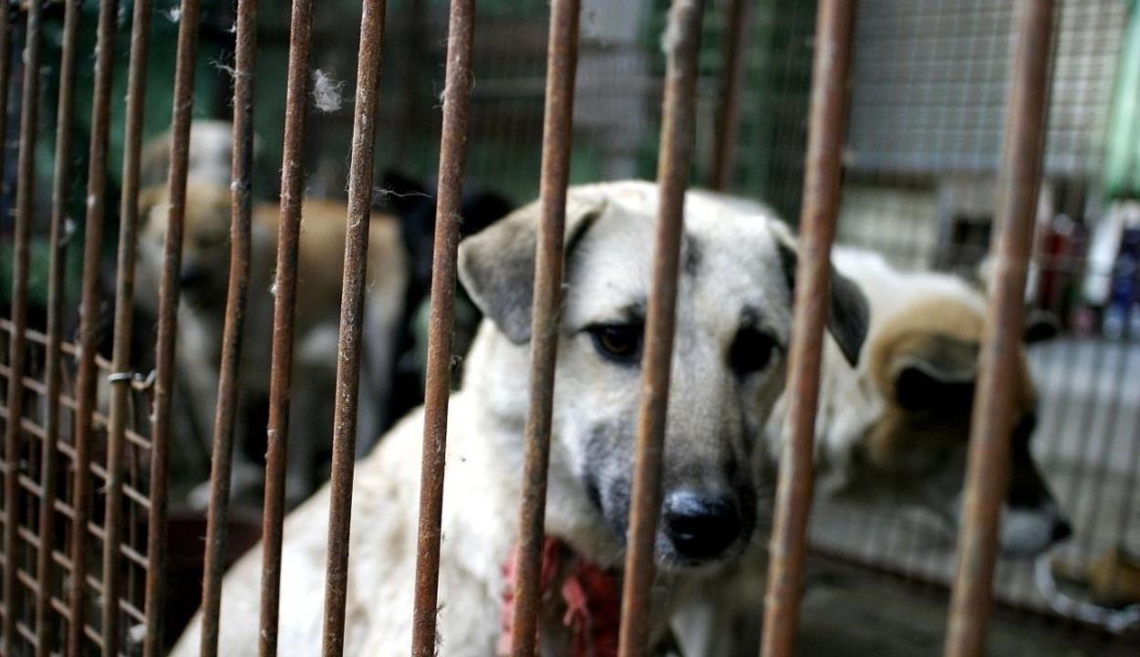 Évi 2000 kutyát öltek le egy kutyavágóhídon