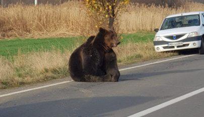 FRISSÍTVE: Elütött egy autó egy medvét Parajd közelében, az állatot órákon át hagyták szenvedni