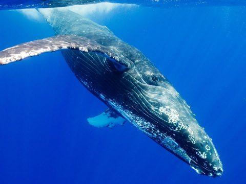 Megmérték egy kék bálna szívverését