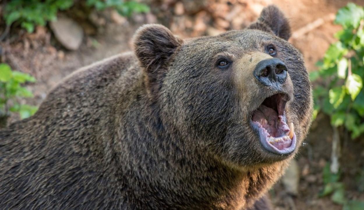 Saját háza udvarán támadt egy férfire egy medve Hargita megyében