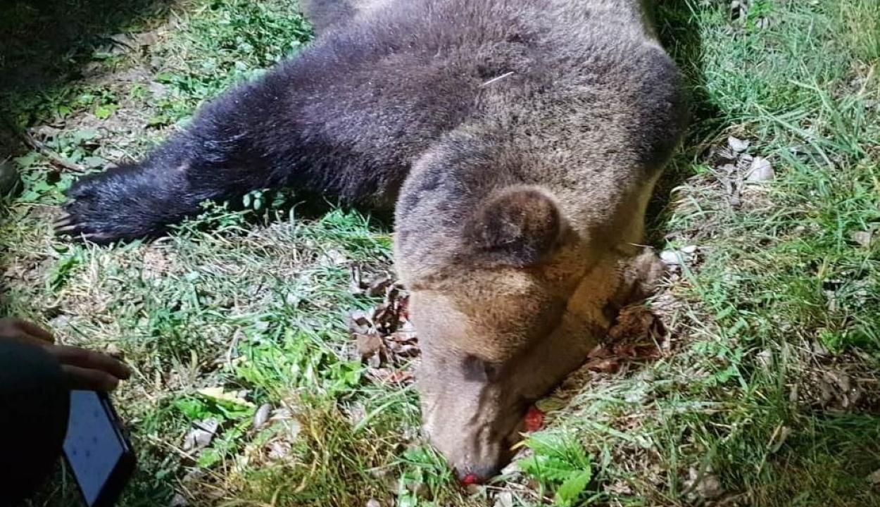 Medvét gázoltak halálra Maros megyében
