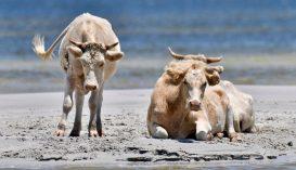 Hurrikánban eltűnt tehenek kerültek elő az Egyesült Államokban