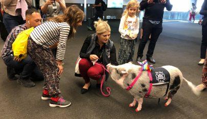 Terápiás malac fogadja az utazókat San Francisco nemzetközi repülőterén