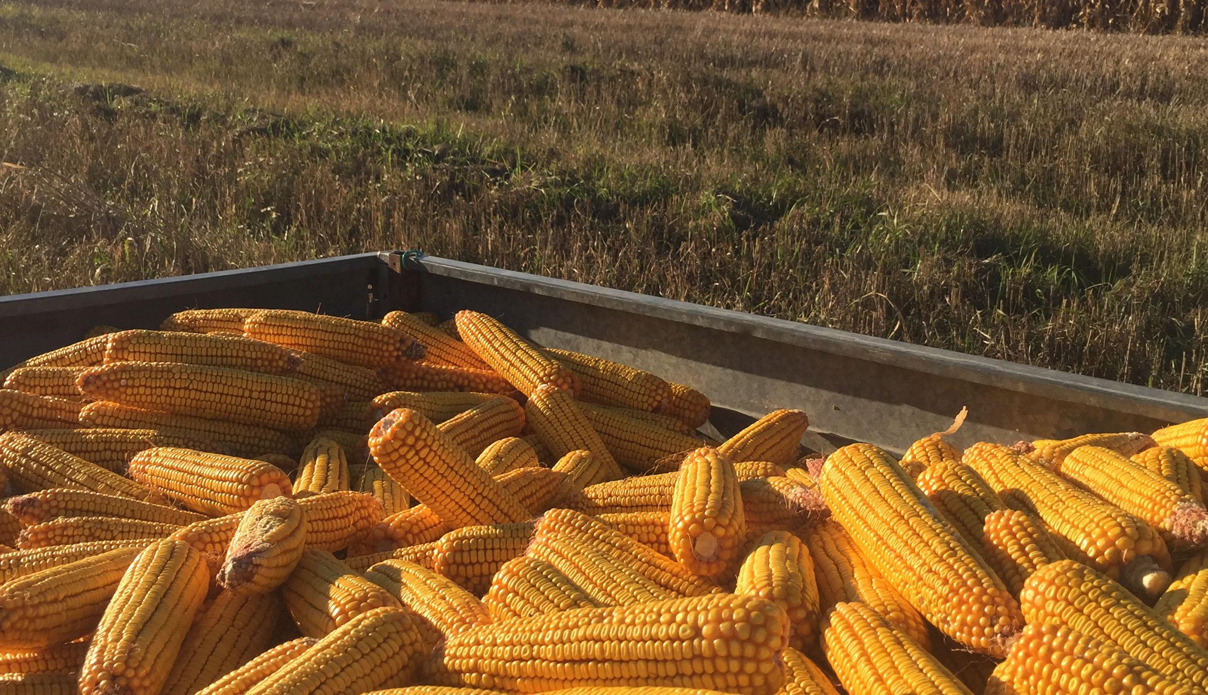 Csaknem 3,4 millió tonna szemes kukoricát exportált Románia az idei első félévben