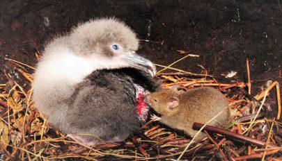 Madarakra támadnak és agyat esznek a megvadult egerek