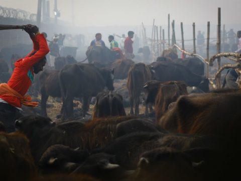 Több százezer állatot ölnek meg rituálisan Nepálban