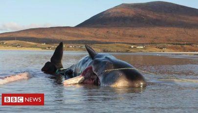 Több mint 100 kilogramm szemetet találtak egy bálna tetemében