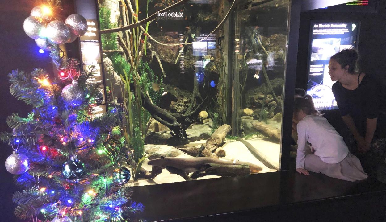 Miguel, az elektromos angolna világítja a karácsonyfát