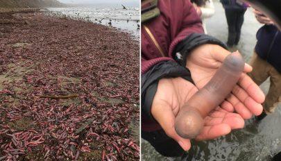 Péniszhalak árasztottak el egy partot Kaliforniában