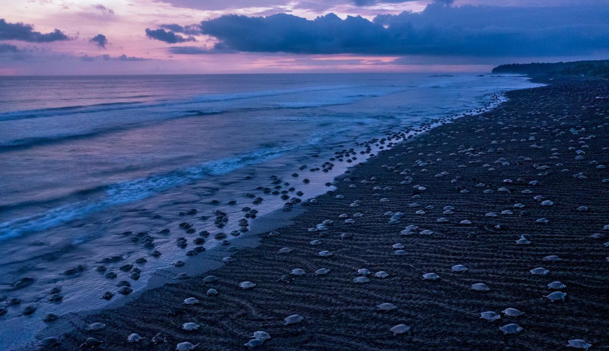 Lenyűgöző videó: több ezer teknőst filmeztek le Costa Rica partjainál