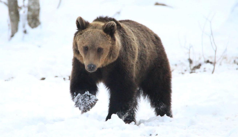 Védett marad a medve