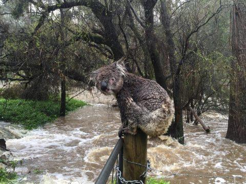 Az erdőtüzek után most áradások okoznak gondot Ausztráliában