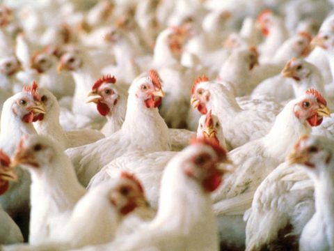Magyarországon is felbukkant a madárinfluenza