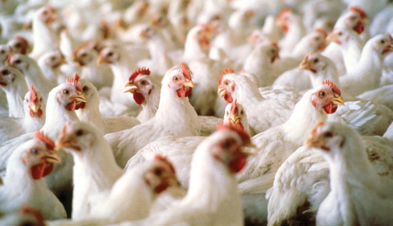 Újabb madárinfluenzagócot igazoltak