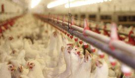 Erdélyben is megjelent a madárinfluenza, 180 ezer szárnyast ölnek le