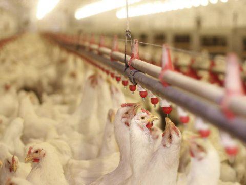 Romániában is kimutatták a madárinfluenzát