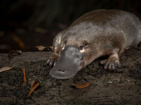 A kihalás szélére sodródott a kacsacsőrű emlős