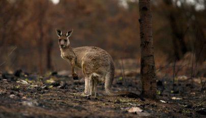 Több mint 100 fenyegetett állat- és növényfaj élőhelyét érintik súlyosan az ausztráliai bozóttüzek