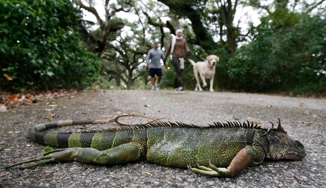 Fagyott leguánok hullhatnak a fákról Floridában